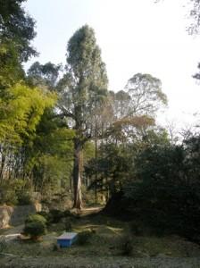 大きなユーカリの木