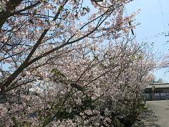 桜満開 お花見弁当とお誕生日ケーキ